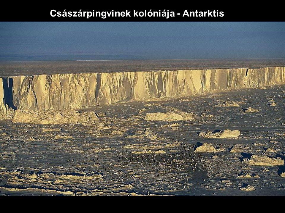 Császárpingvinek kolóniája - Antarktis