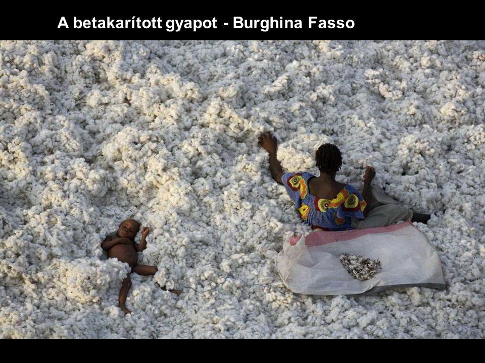 A betakarított gyapot - Burghina Fasso