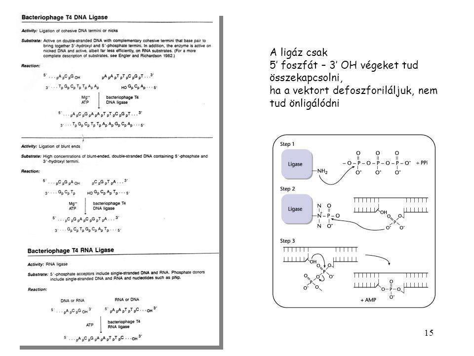 A ligáz csak 5' foszfát – 3' OH végeket tud.