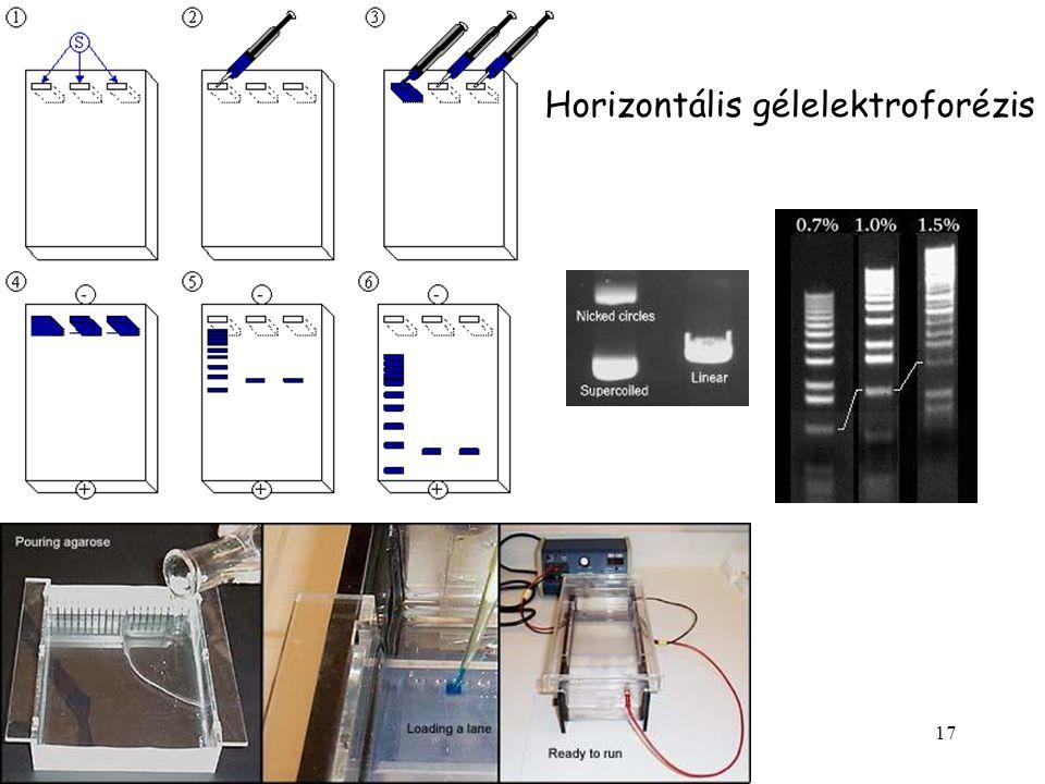Horizontális gélelektroforézis