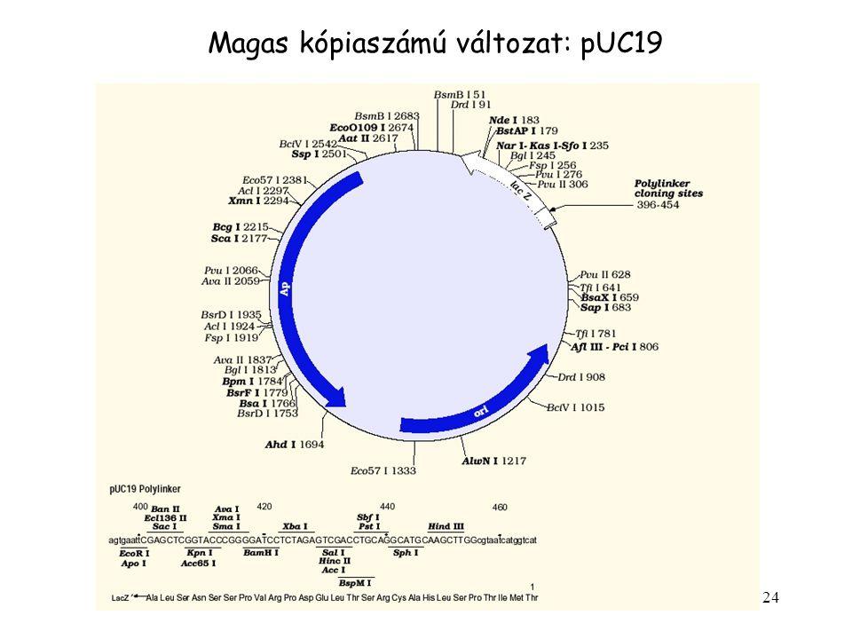 Magas kópiaszámú változat: pUC19
