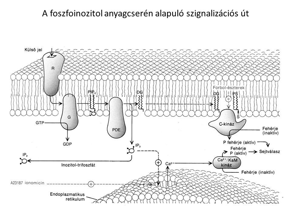 A foszfoinozitol anyagcsere szignál-transzdukciós útján kiváltott sejtválaszok