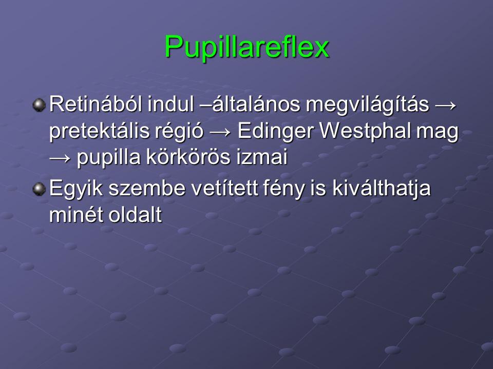 Pupillareflex Retinából indul –általános megvilágítás → pretektális régió → Edinger Westphal mag → pupilla körkörös izmai.
