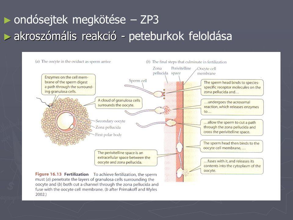 ondósejtek megkötése – ZP3