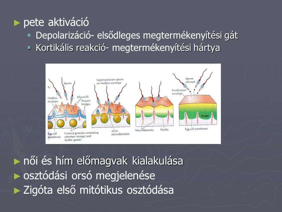 női és hím előmagvak kialakulása osztódási orsó megjelenése