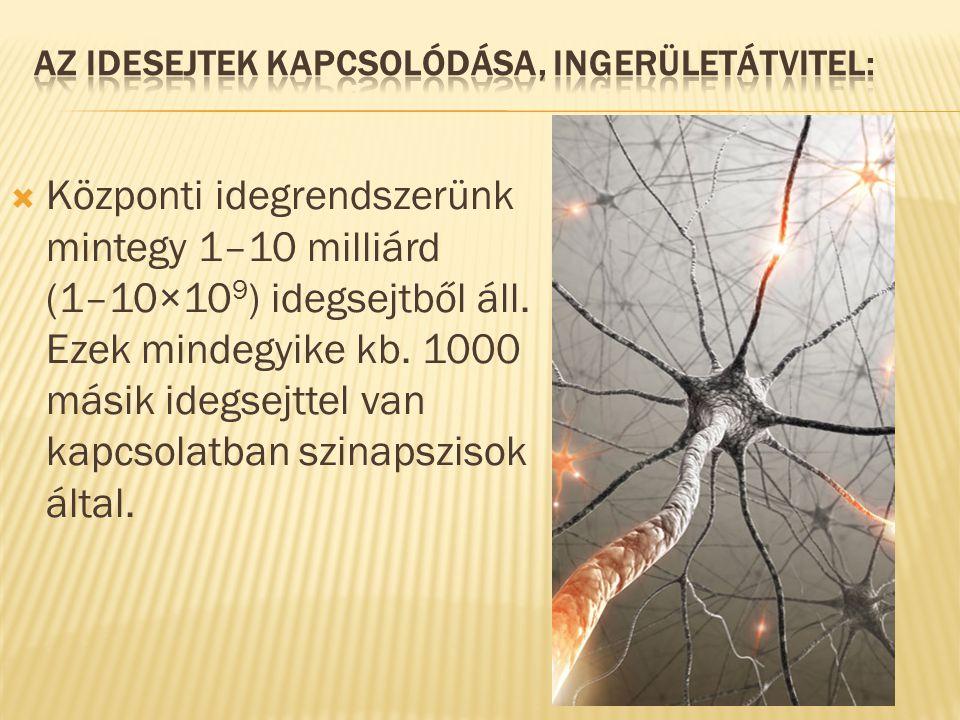 Az idesejtek kapcsolódása, ingerületátvitel: