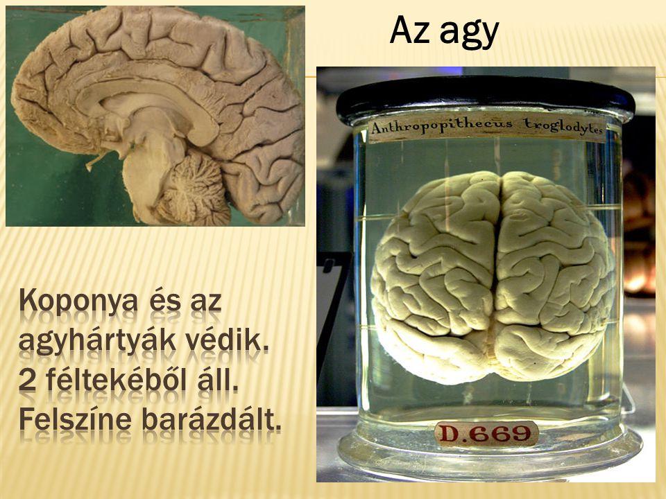 Koponya és az agyhártyák védik. 2 féltekéből áll. Felszíne barázdált.