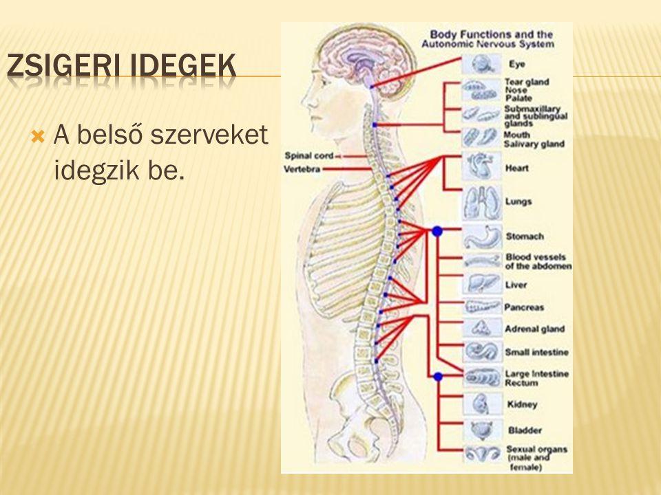Zsigeri idegek A belső szerveket idegzik be.