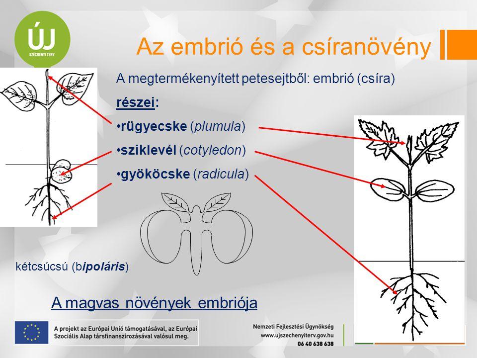Az embrió és a csíranövény