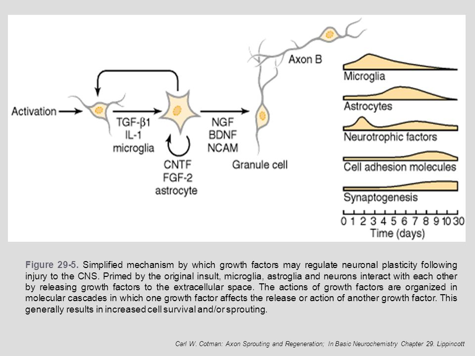 Figure 29-5. Simplified mechanism by which growth factors may regulate neuronal plasticity following injury to the CNS. Primed by the original insult, microglia, astroglia and neurons interact with each other by releasing growth factors to the extracellular space. The actions of growth factors are organized in molecular cascades in which one growth factor affects the release or action of another growth factor. This generally results in increased cell survival and/or sprouting.