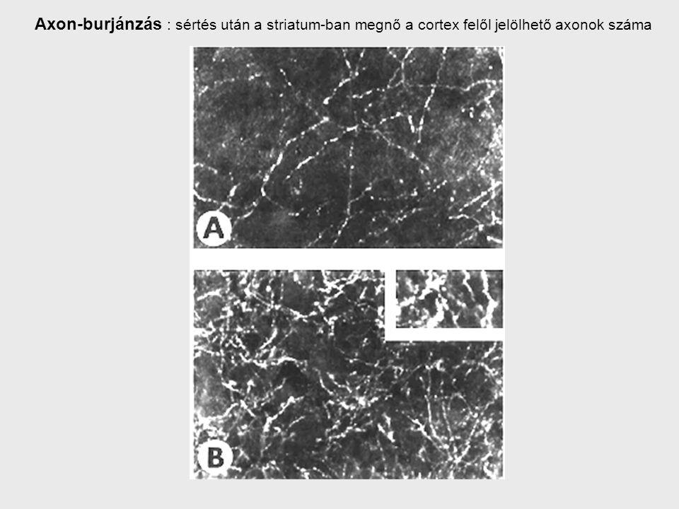 Axon-burjánzás : sértés után a striatum-ban megnő a cortex felől jelölhető axonok száma