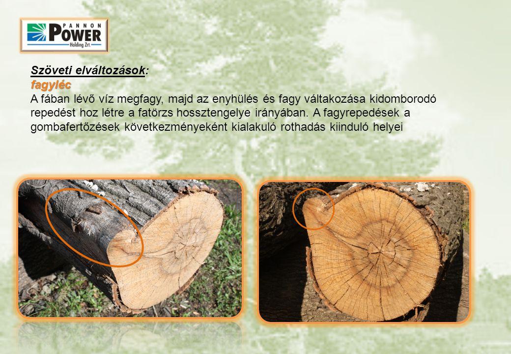 Szöveti elváltozások: fagyléc A fában lévő víz megfagy, majd az enyhülés és fagy váltakozása kidomborodó repedést hoz létre a fatörzs hossztengelye irányában.