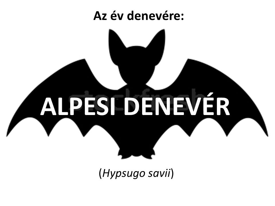 Az év denevére: ALPESI DENEVÉR (Hypsugo savii)