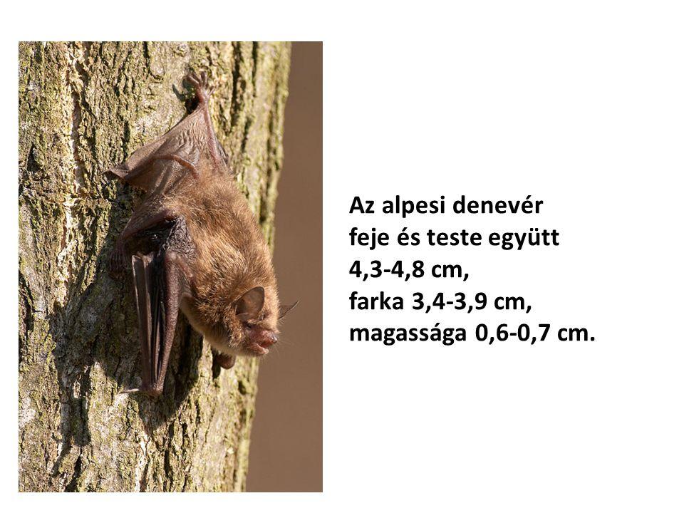 Az alpesi denevér feje és teste együtt 4,3-4,8 cm, farka 3,4-3,9 cm, magassága 0,6-0,7 cm.