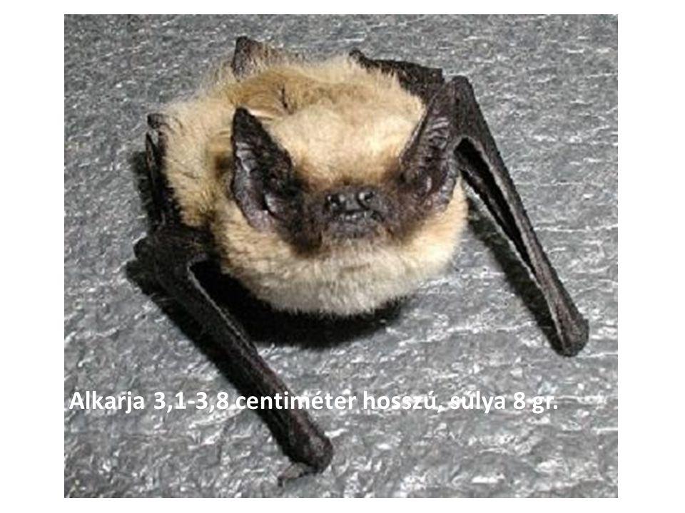 Alkarja 3,1-3,8 centiméter hosszú, súlya 8 gr.