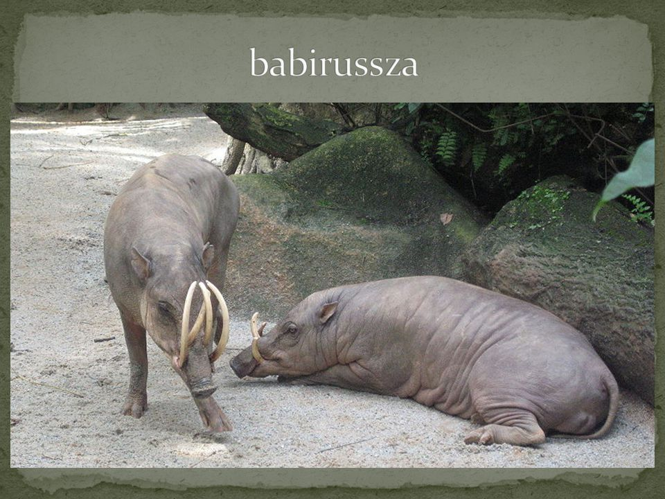 babirussza