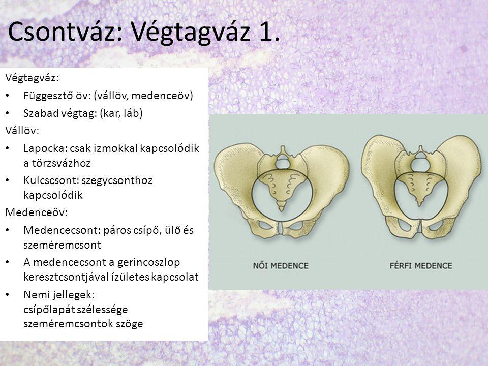 Csontváz: Végtagváz 1. Végtagváz: Függesztő öv: (vállöv, medenceöv)