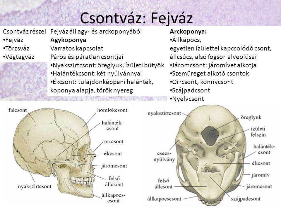Csontváz: Fejváz Csontváz részei Fejváz Törzsváz Végtagváz