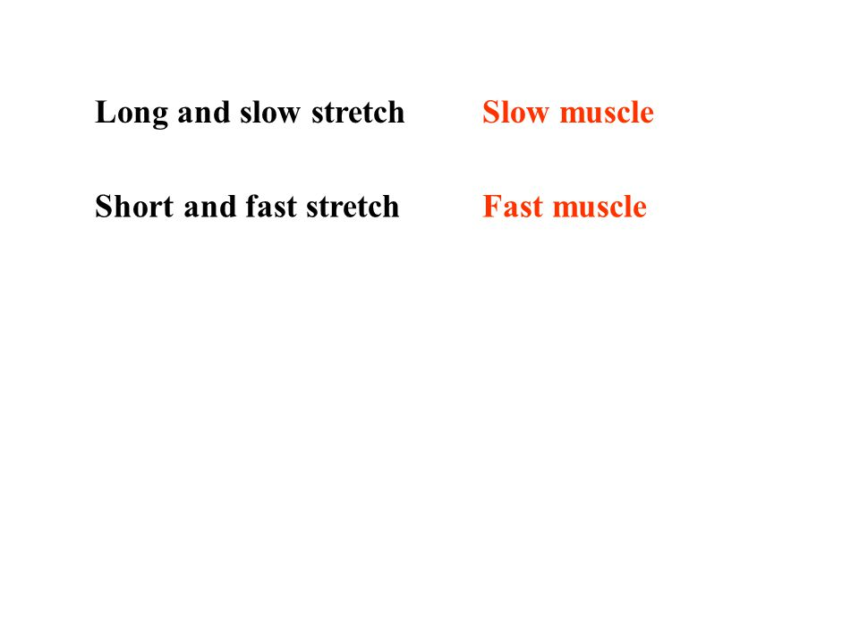 Long and slow stretch Slow muscle Short and fast stretch Fast muscle