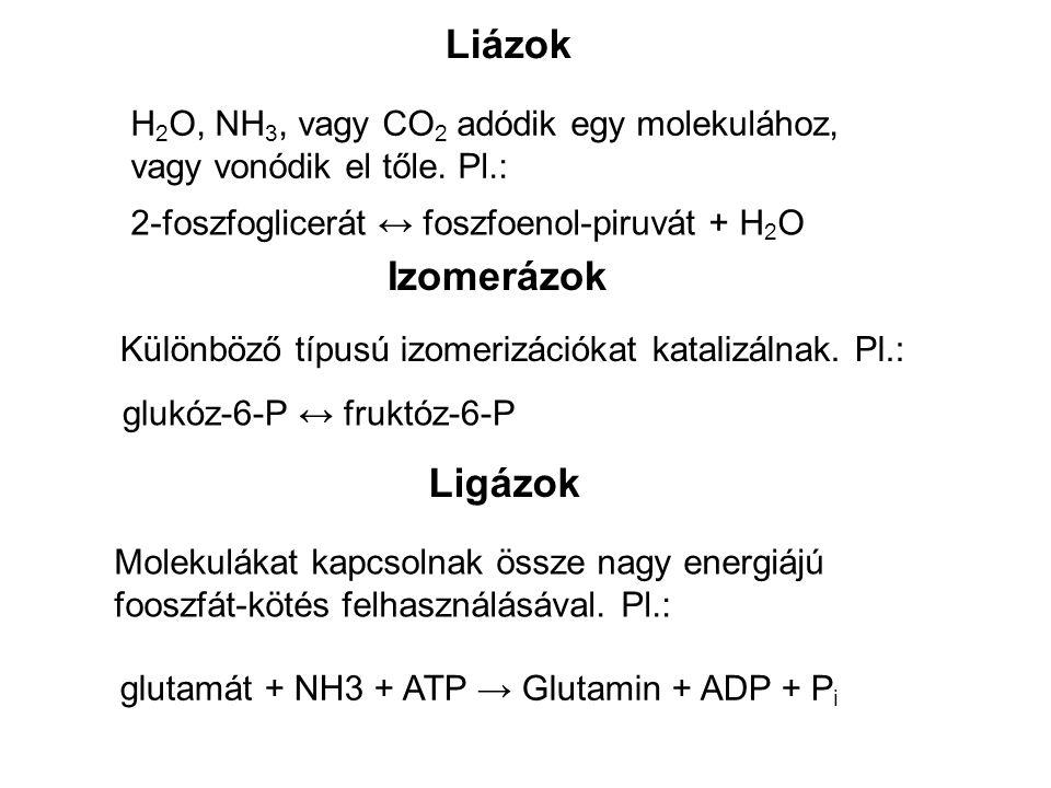 Liázok Izomerázok Ligázok H2O, NH3, vagy CO2 adódik egy molekulához,