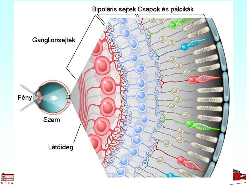 Retina felépítése