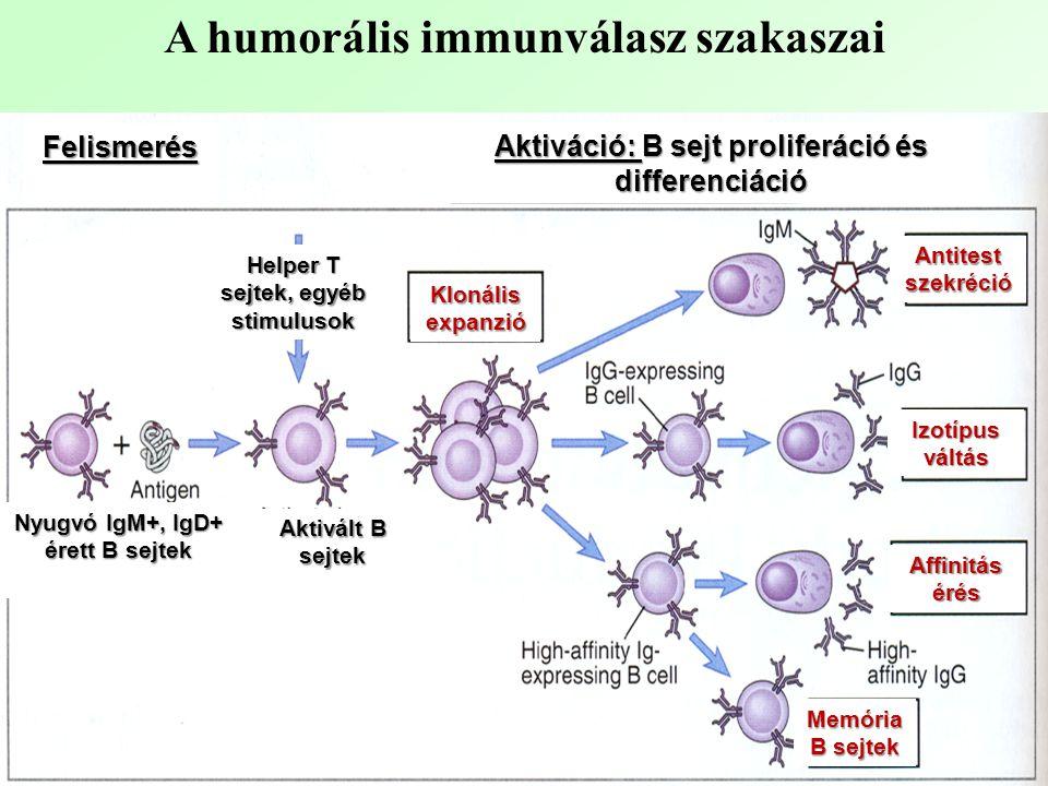 A humorális immunválasz szakaszai