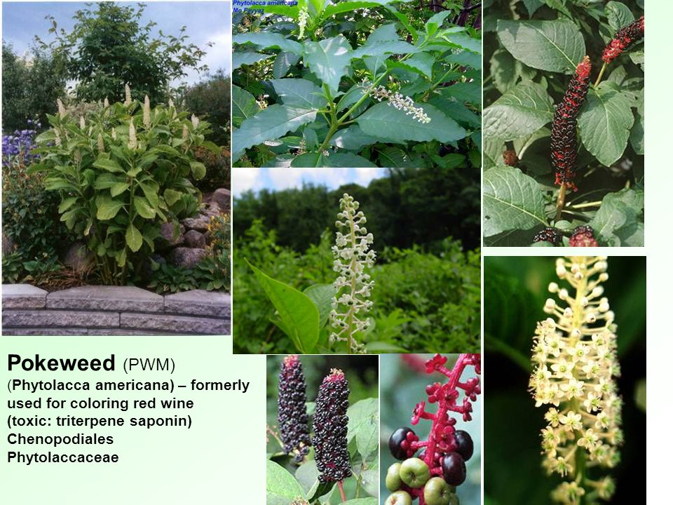 Pokeweed (PWM) (Phytolacca americana) – formerly used for coloring red wine. (toxic: triterpene saponin)