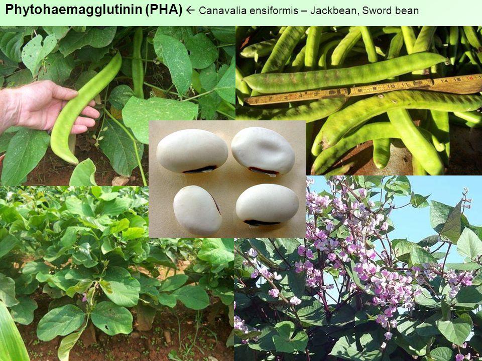 Phytohaemagglutinin (PHA)  Canavalia ensiformis – Jackbean, Sword bean