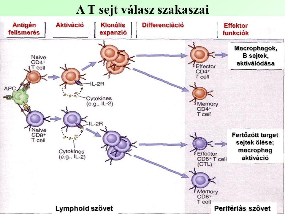 A T sejt válasz szakaszai