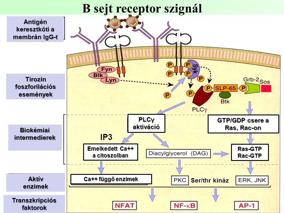 B sejt receptor szignál