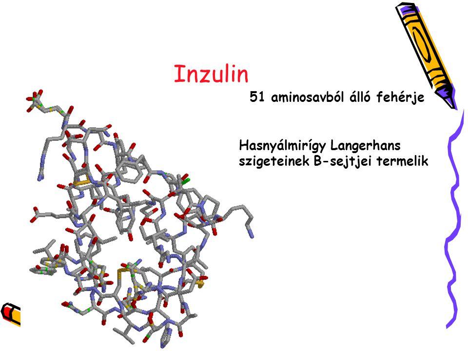 Inzulin 51 aminosavból álló fehérje