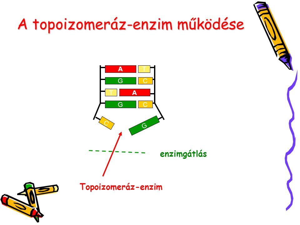 A topoizomeráz-enzim működése