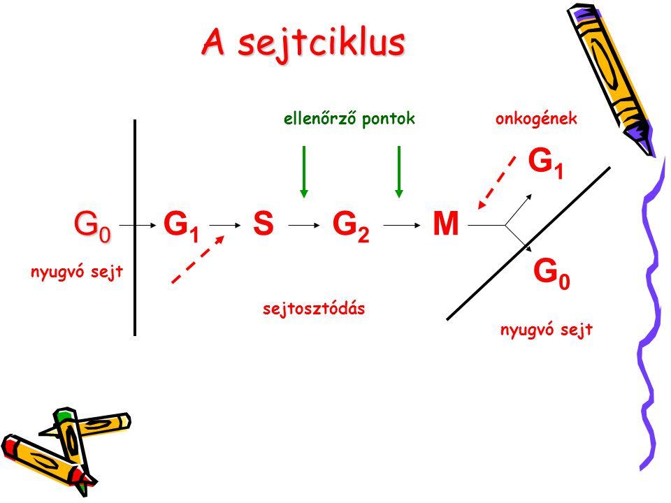A sejtciklus G1 G0 G1 S G2 M G0 ellenőrző pontok onkogének nyugvó sejt