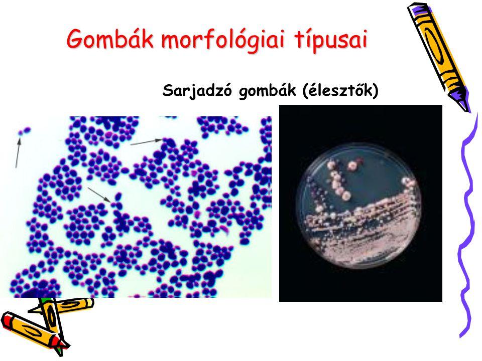 Gombák morfológiai típusai