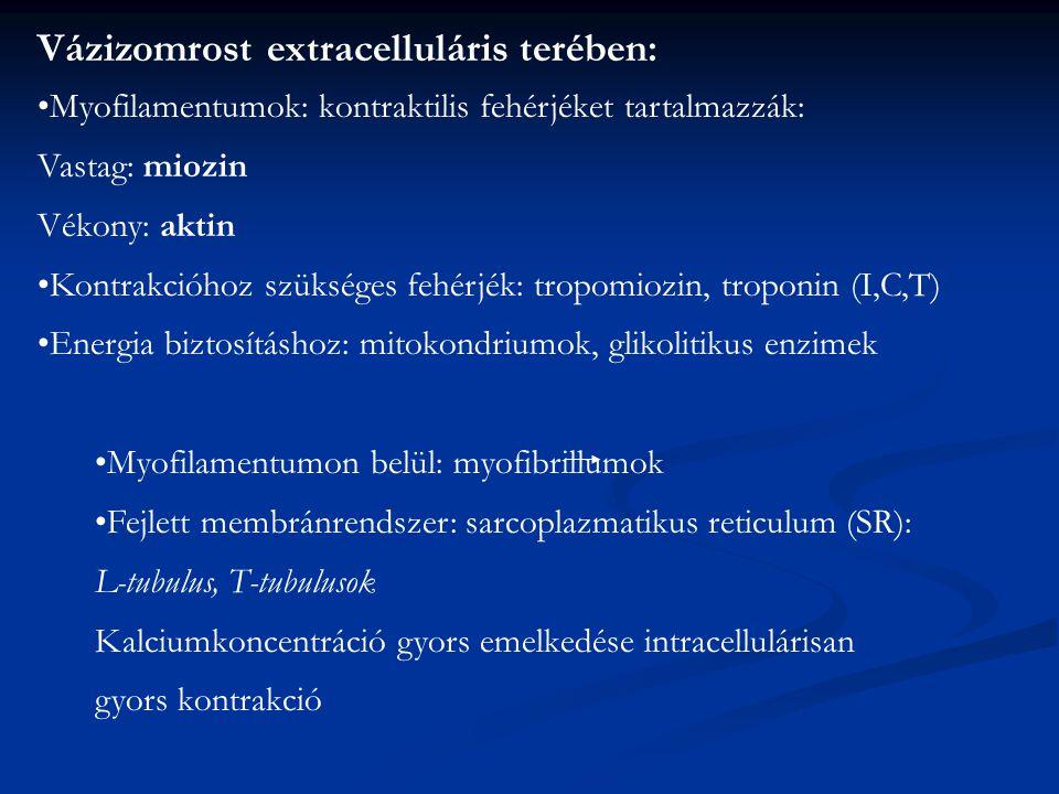 Vázizomrost extracelluláris terében:
