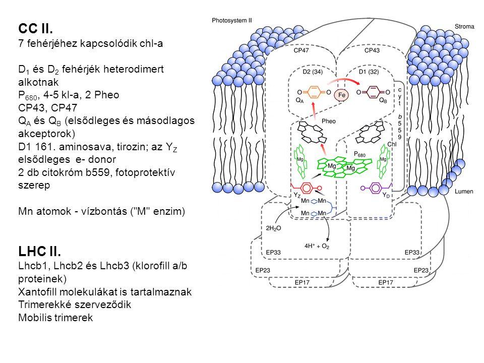 CC II. LHC II. 7 fehérjéhez kapcsolódik chl-a