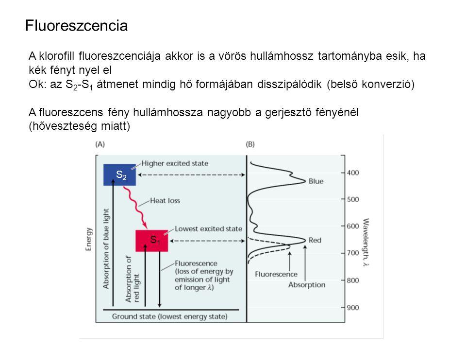 Fluoreszcencia A klorofill fluoreszcenciája akkor is a vörös hullámhossz tartományba esik, ha kék fényt nyel el.