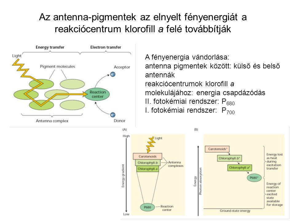 Az antenna-pigmentek az elnyelt fényenergiát a reakciócentrum klorofill a felé továbbítják