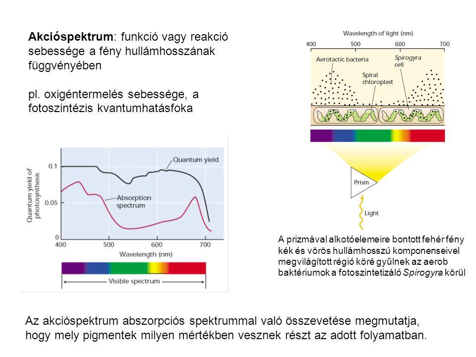 pl. oxigéntermelés sebessége, a fotoszintézis kvantumhatásfoka