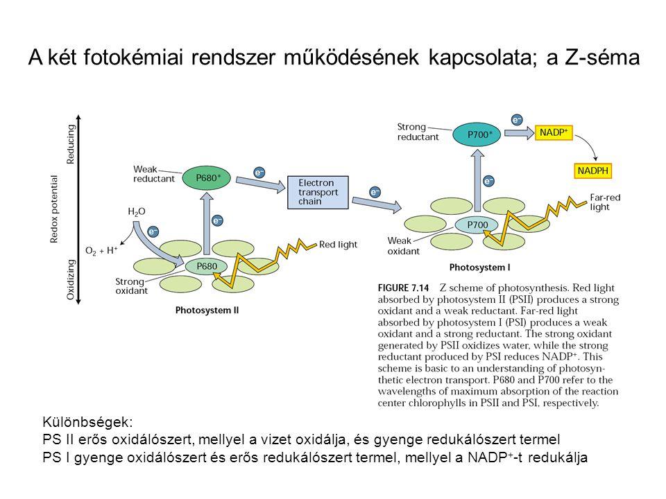 A két fotokémiai rendszer működésének kapcsolata; a Z-séma