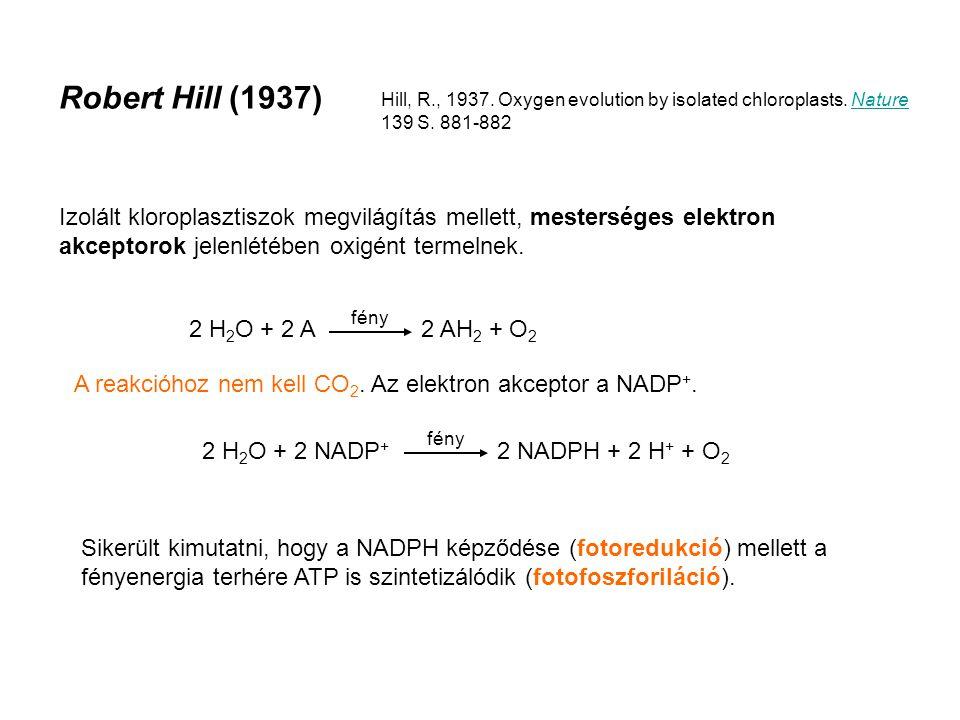 Robert Hill (1937) Izolált kloroplasztiszok megvilágítás mellett, mesterséges elektron akceptorok jelenlétében oxigént termelnek.