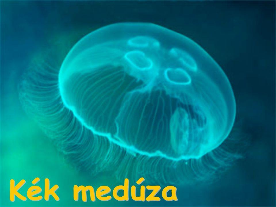 Kék medúza