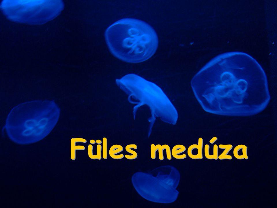 Füles medúza