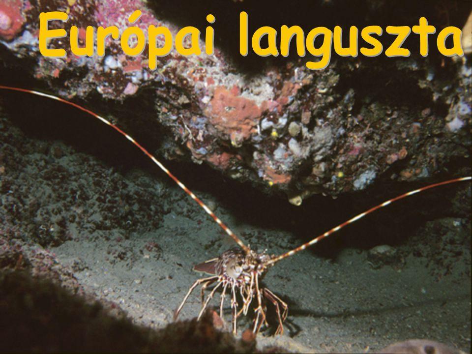 Európai languszta