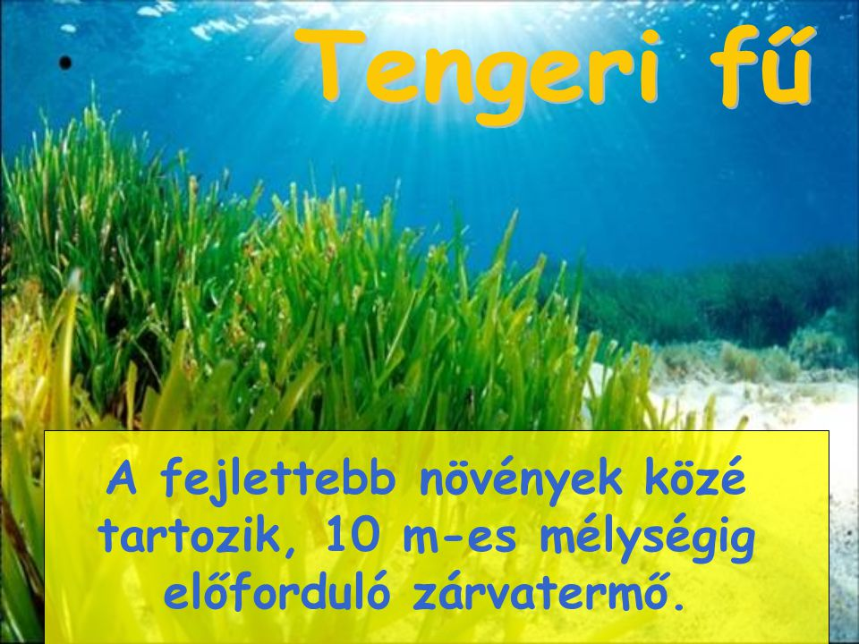 Tengeri fű A fejlettebb növények közé tartozik, 10 m-es mélységig előforduló zárvatermő.