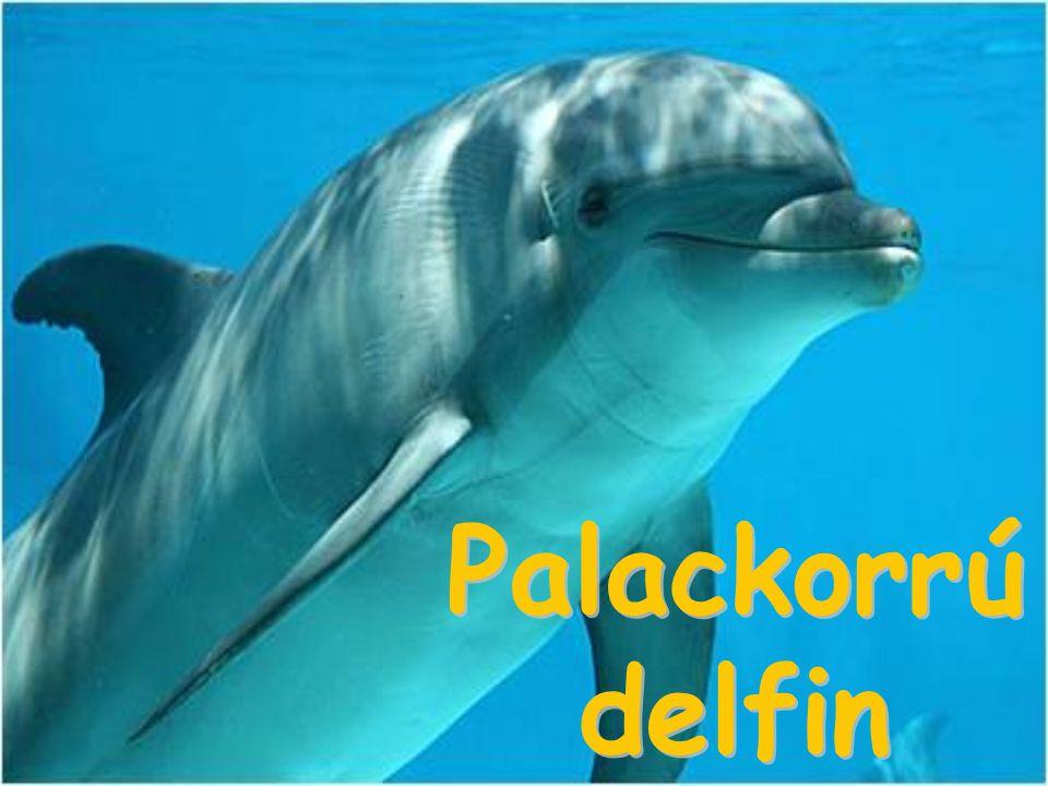 Palackorrú delfin
