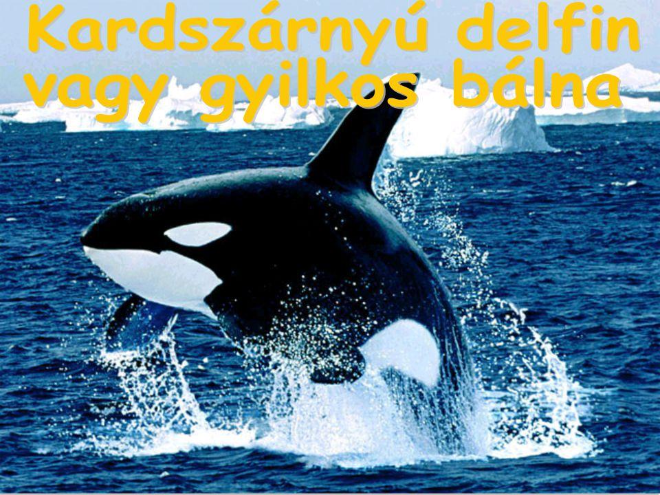 Kardszárnyú delfin vagy gyilkos bálna
