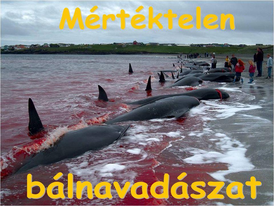 Mértéktelen bálnavadászat