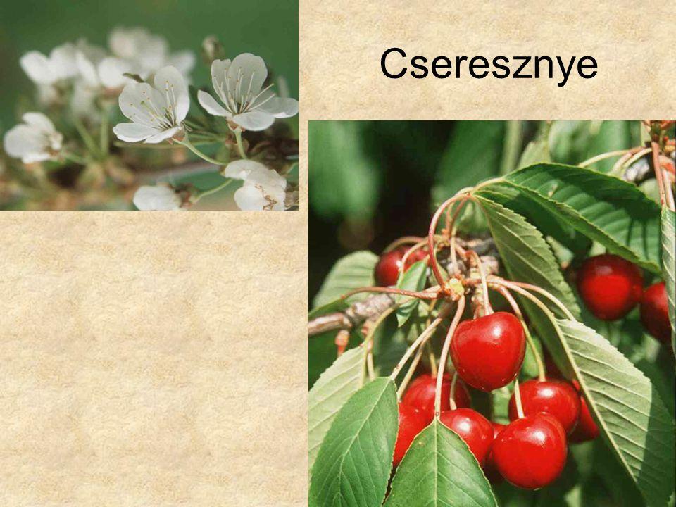 Cseresznye HERBÁRIUM – Magyarország növényei CD, Kossuth Kiadó