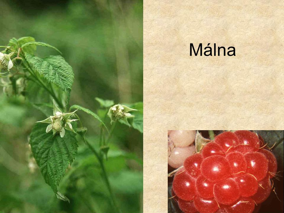 Málna HERBÁRIUM – Magyarország növényei CD, Kossuth Kiadó